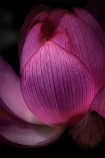 waterlily-bluelotus-garden-melbourne-9629