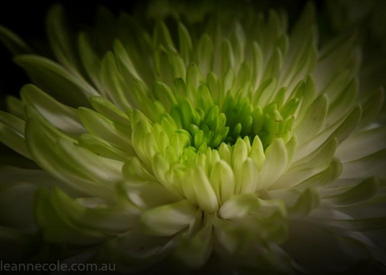 MIFGS-melbourne-flowers-strumanoptics-macro-100816