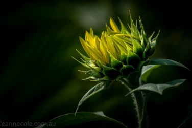 bue-lotus-watergarden-sunflower-secondtime-0353