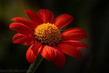 bue-lotus-watergarden-sunflower-secondtime-0432