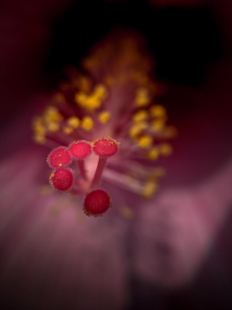 blue-lotus-watergarden-sunflower-struman-111427