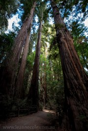 henry-cowell-redwoods-santacruz-mountains-4480
