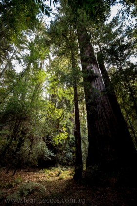 henry-cowell-redwoods-santacruz-mountains-4482