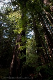 henry-cowell-redwoods-santacruz-mountains-4570