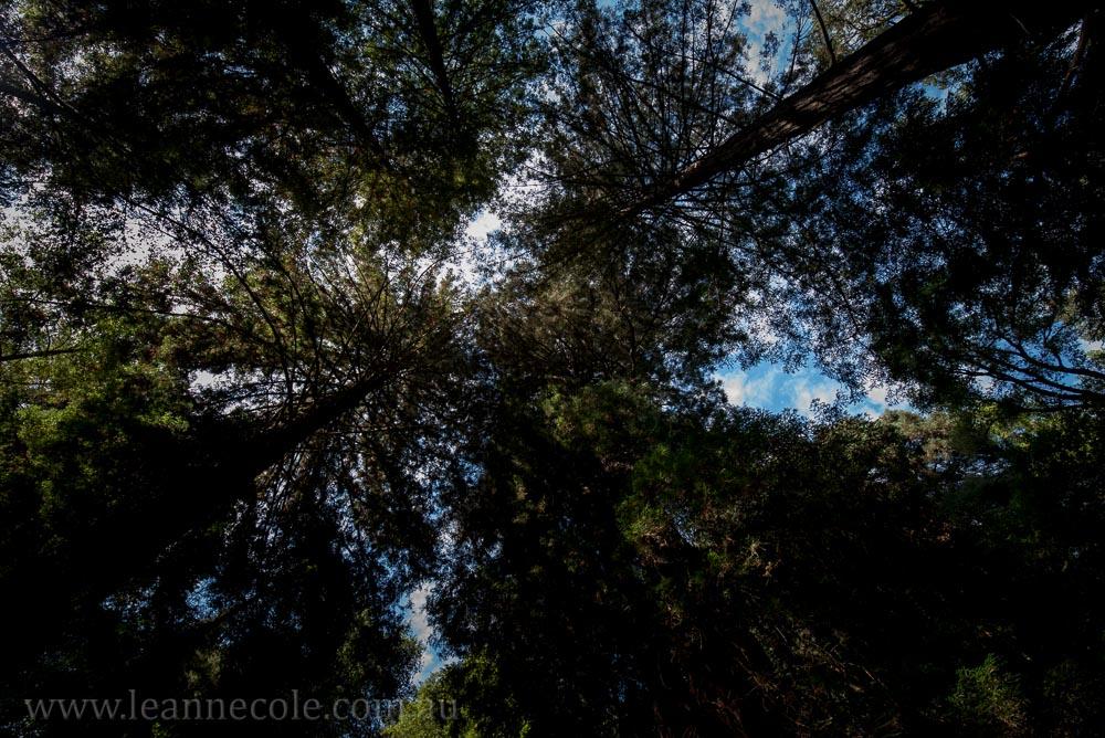 henry-cowell-redwoods-santacruz-mountains-4594