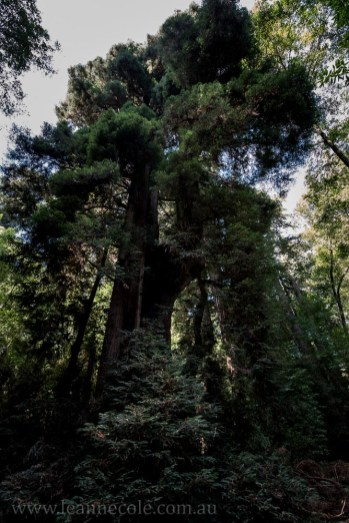 henry-cowell-redwoods-santacruz-mountains-4596