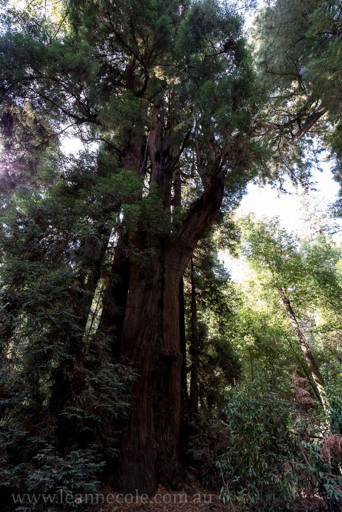 henry-cowell-redwoods-santacruz-mountains-4599