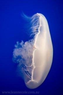 monterey-bay-aquarium-jellyfish-4369