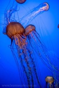 monterey-bay-aquarium-jellyfish-4396