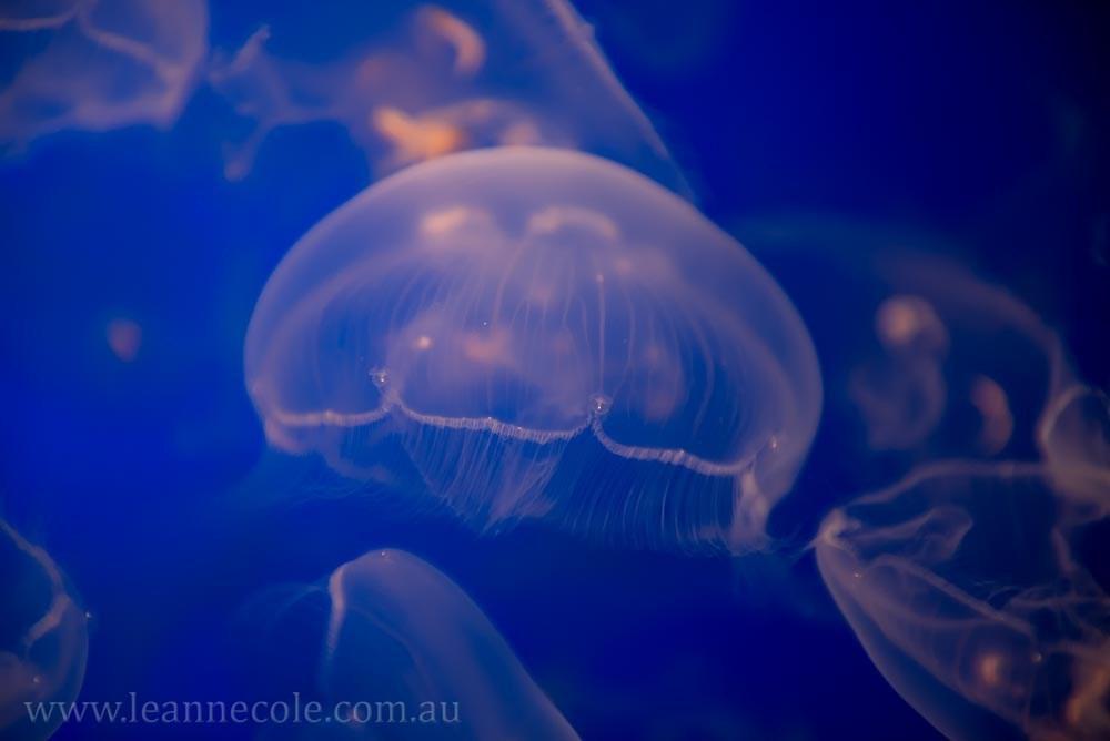 monterey-bay-aquarium-jellyfish-4415
