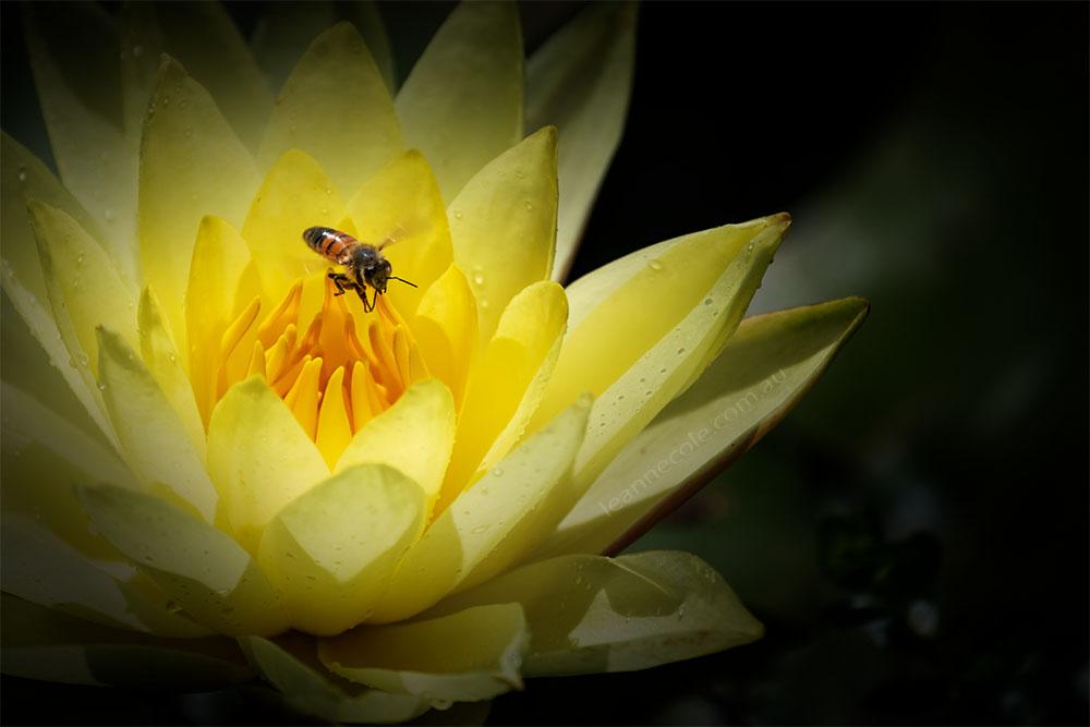 waterlily-bluelotus-garden-melbourne-bee-9394