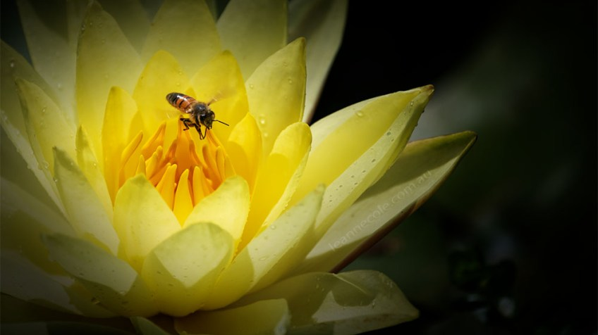 waterlily-bluelotus-garden-melbourne-bee-9394