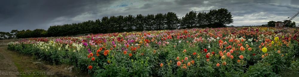 country-dahlias-flowers-macro-autumn-105520