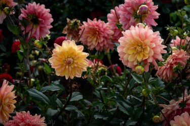country-dahlias-flowers-macro-autumn-3075