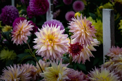 country-dahlias-flowers-macro-autumn-3138