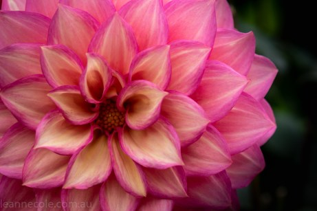 country-dahlias-flowers-macro-autumn-3181