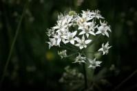 onion-flowers-autumn-alowyngardens-1833