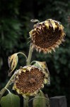 sunflowers-alowyngardens-dead-seasons-1631