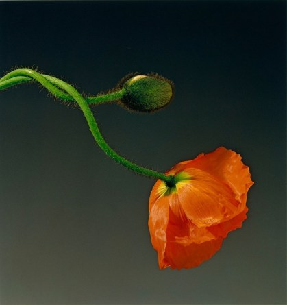 Influencing Me - Robert Mapplethorpe's flowers