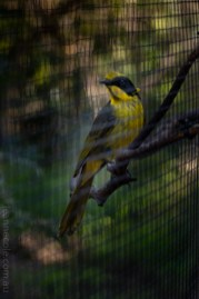 Weekend Wanderings - Birds at Healesville