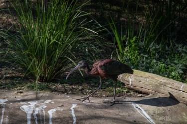 Weekend Wanderings - Birds at Healesville