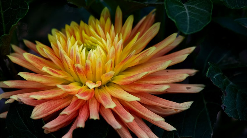 Floral Friday - First Dahlia