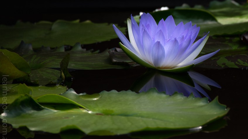 Weekend Wanderings - Blue Lotus Water Gardens