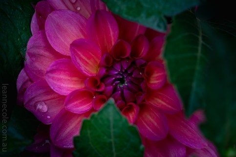 Floral Friday - More Dahlias
