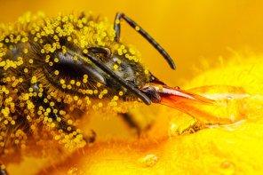 honeybee_covered_in_zucchini_pollen