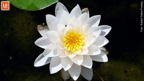 Flor de lótus branca.