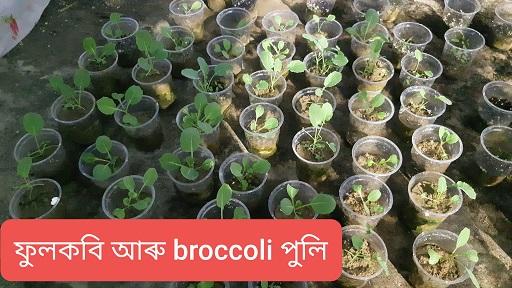 Cauliflower Broccoli Seedlings