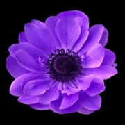 amethyst-anemone-real