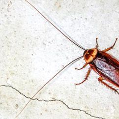 Kitchen Trash Can Sizes Aid Mixer Covers How Cockroaches Make You Sick :: Allergyandair.com