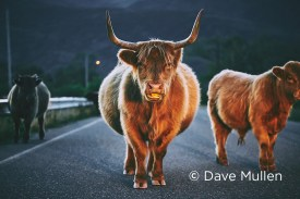 Kodiak island cow by Dave Mullen