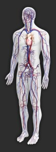 human circulatory system (2)