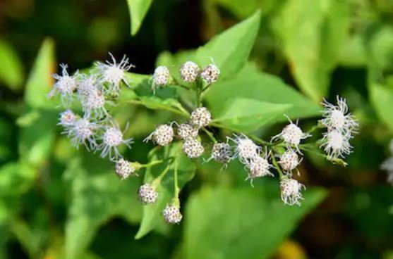 This image has an empty alt attribute; its file name is boneset.jpg