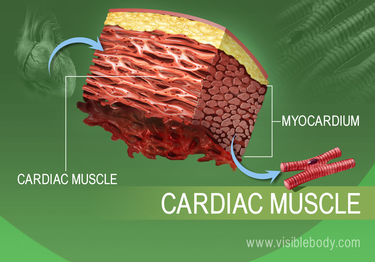 cardiac muscle tissue diagram labeled lateral view skull sutures types learn muscular anatomy