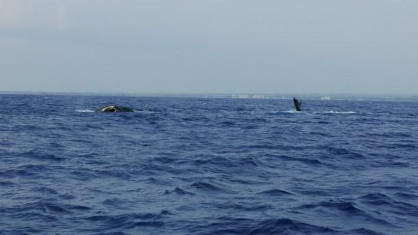 HAWAI l Maui l'île des baleines