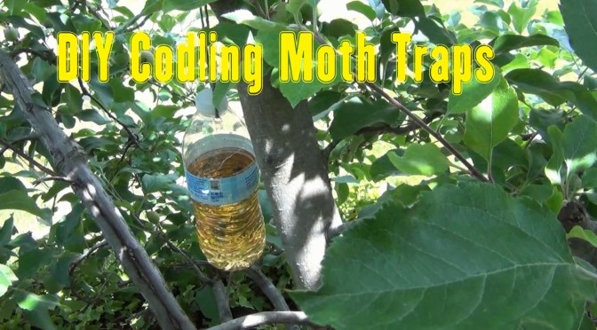DIY Codling Moth Traps – How I Made Them