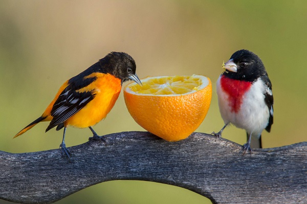 VOA Learning English - Birds Learn Each Other's 'Languages' by Listening, Experts Say