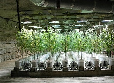 Growing Marijuana Indoors and Hydroponics