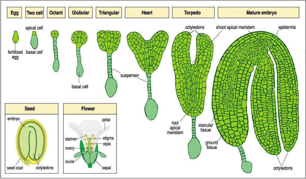 medium resolution of figure 9 diagrammatic representation of the different stages embryogenesis