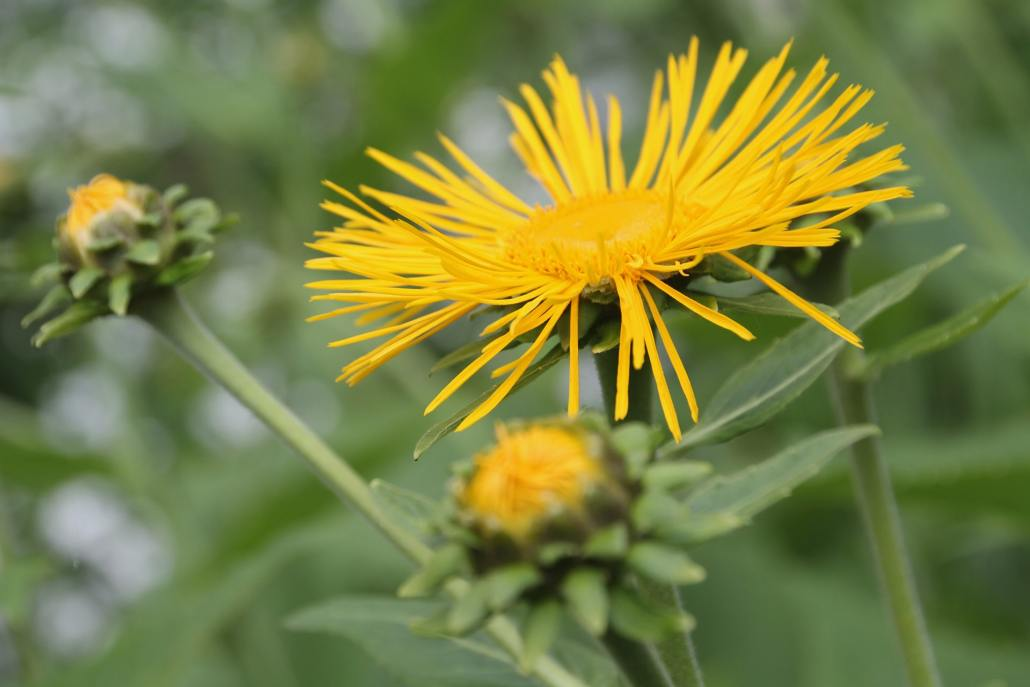 Elecampane: A Natural Cough Remedy
