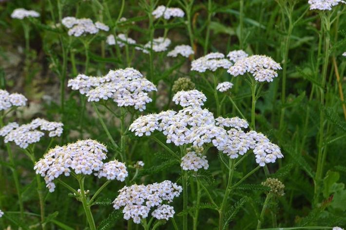 Yarrow: Herbs for Fever