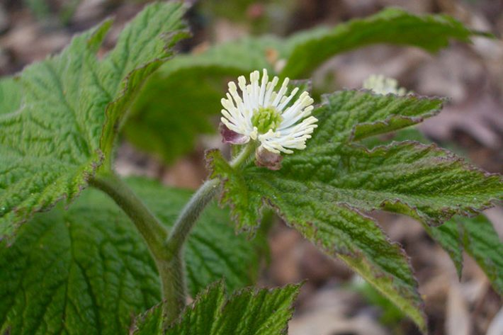 8 Herbs for Allergy Relief: Goldenseal