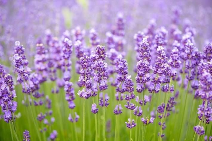 soapmaking-lavender