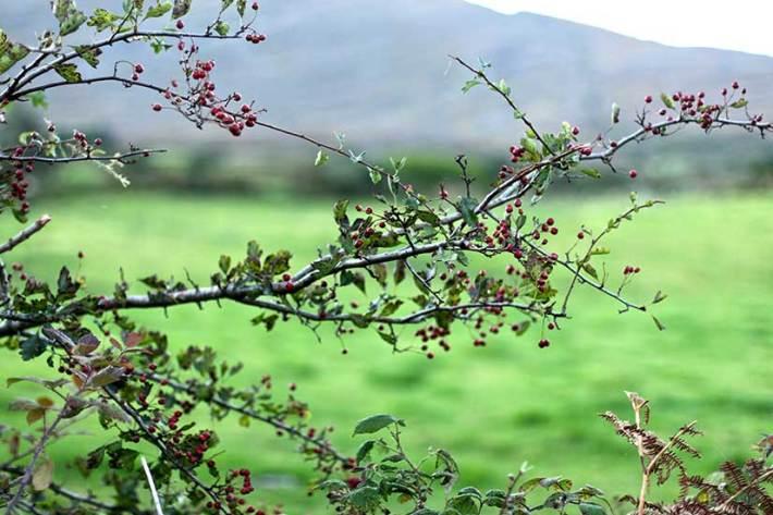 Hawthorn Cordial Recipe