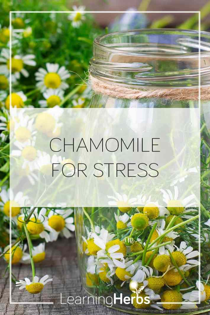 chamomile for stress