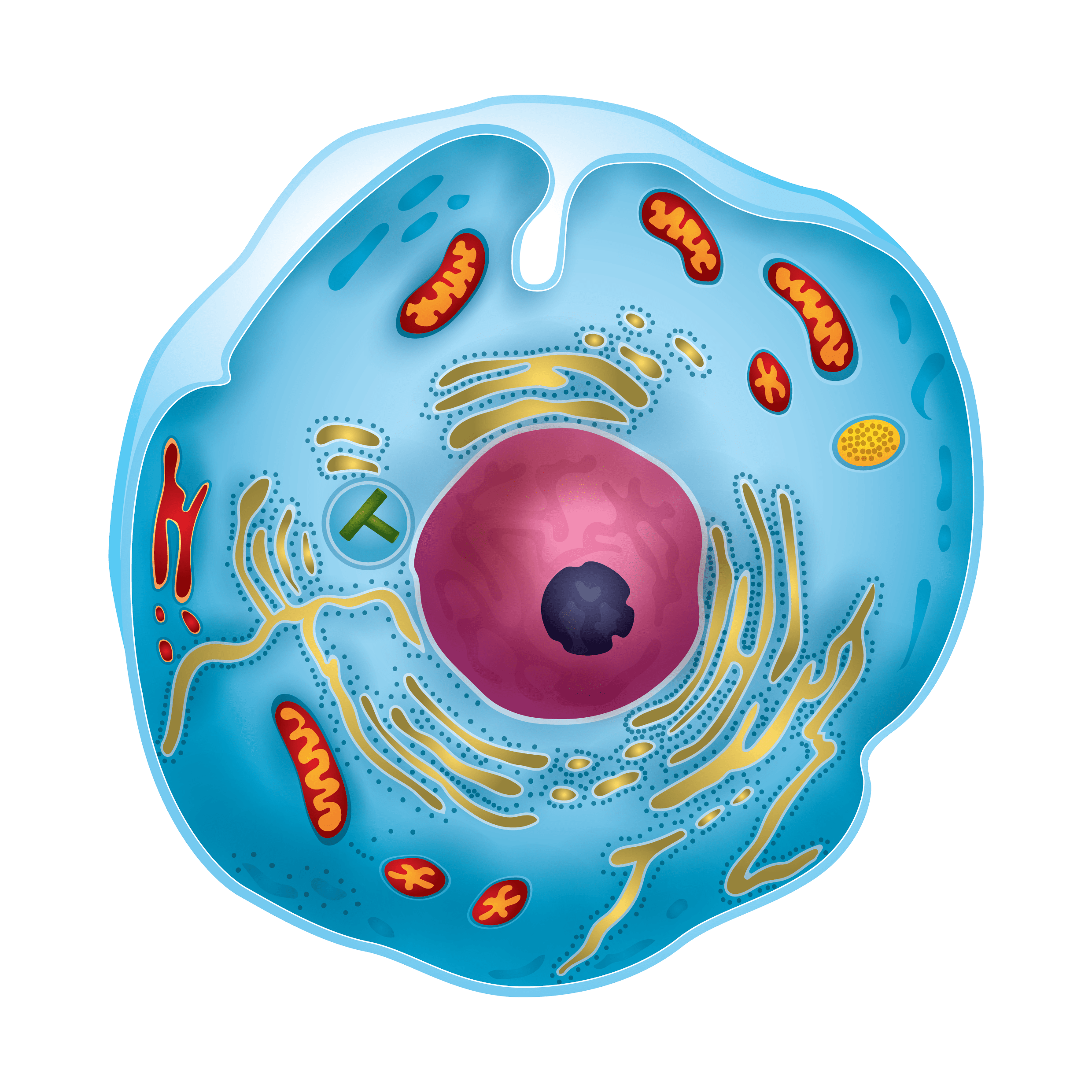 Mitosis Worksheet Amp Other Ideas To Teach Mitosis Effectively