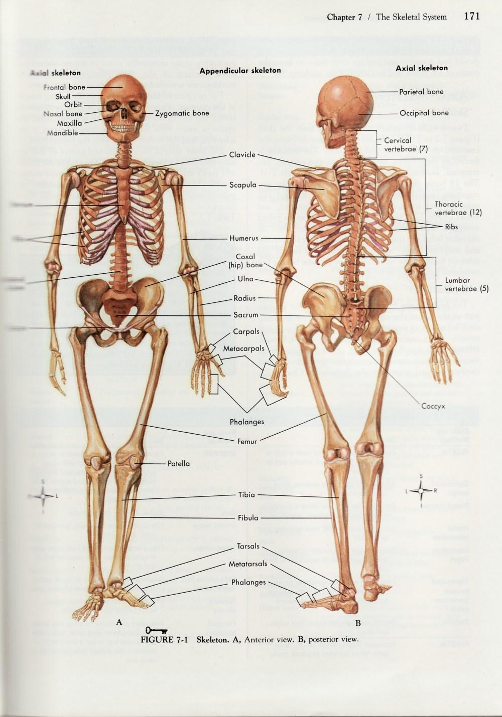 medium resolution of human skeleton diagram